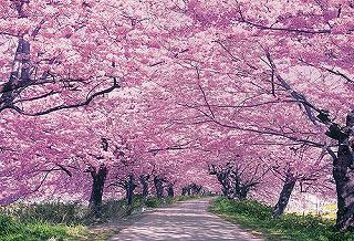 幸手桜.jpg